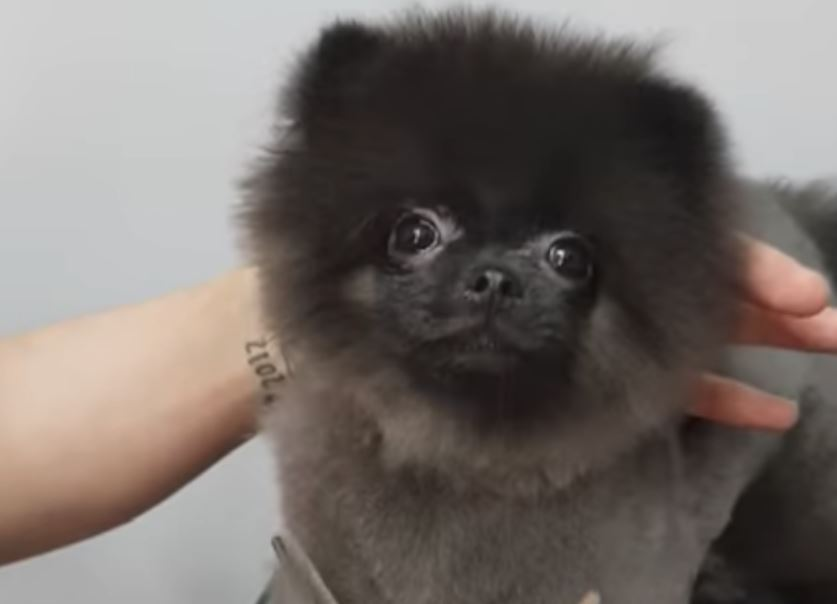 Tiny Dog Dances To Music As She Gets Trimmed, And The Groomer's In Stitches