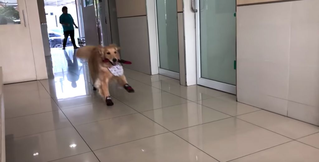 The Vet's Office Is Basically A Playground To This Golden Retriever