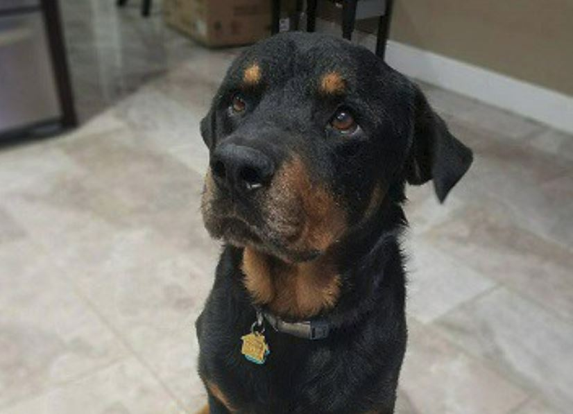 Tequila, four year old Rottweiler looking for his forever home