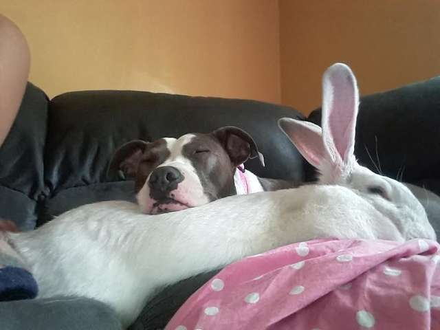 Pit Bull Rescued From Dogfighting Finds Love And Comfort In A Giant Bunny