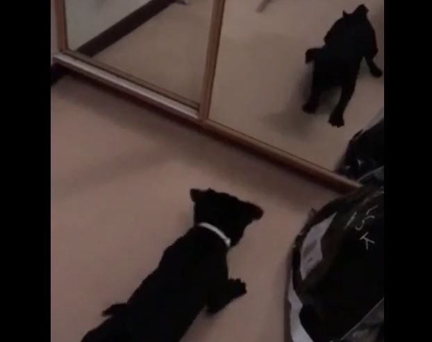 Pug thinks she sees another dog in the mirror