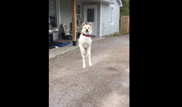 Dog Literally Jumps For Joy When Owner Comes Home