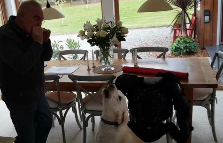 Adorable labradoodle 'sings' along while owner plays harmonica