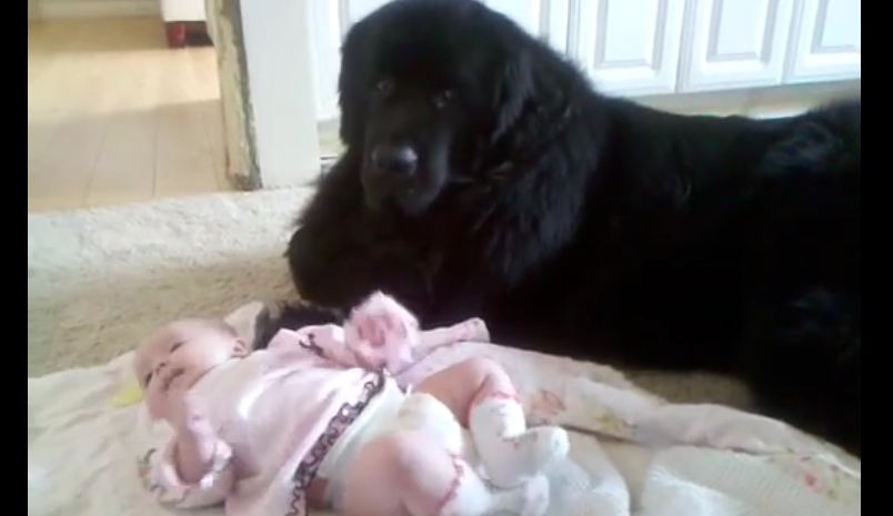 Watch How This Adorable Newfoundland Is Taking Care Of His Precious Little Friend