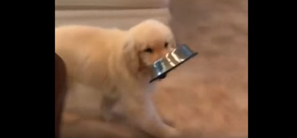 Funny And Cute Golden Retriever Puppies Compilation