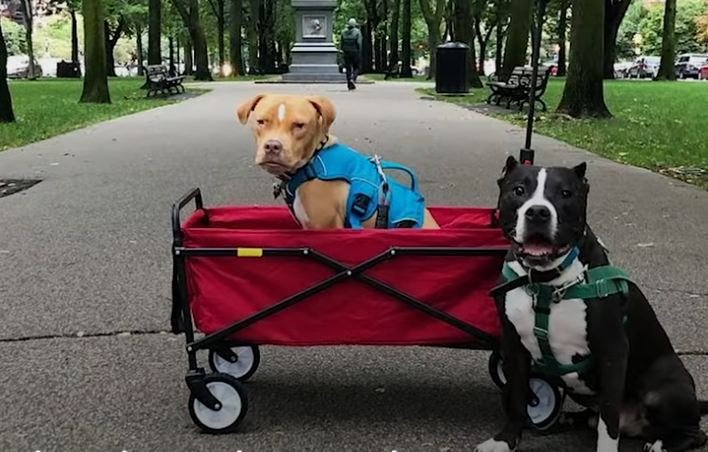 Little Pittie With Rare Disease Finds The Best Family