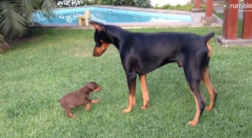 Tiny puppy adorably challenges much larger doberman dog
