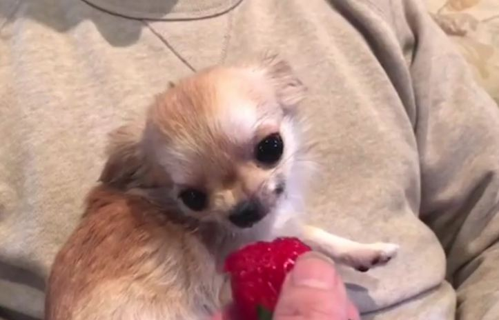 Chihuahua viciously snacks on strawberry