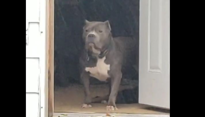 Big tough pit bull scared to go out in rain