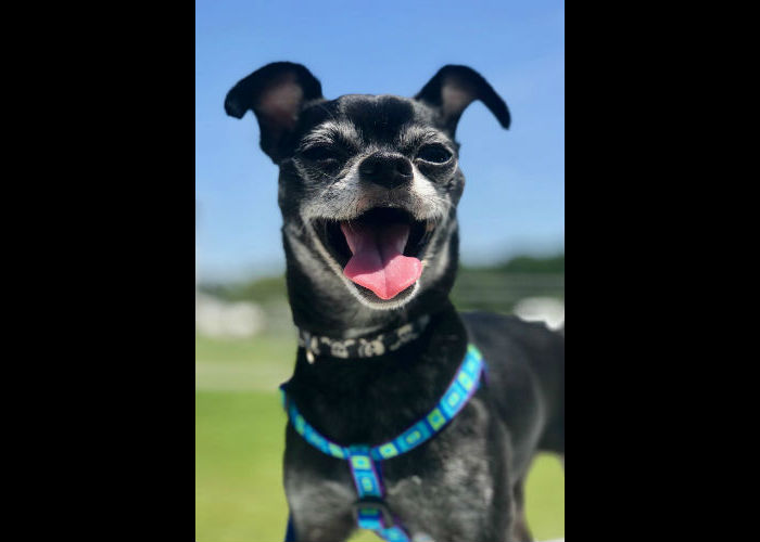 Chi-lovers, check out Dolson! He's a dreamy, little guy looking for a forever family in Virginia.