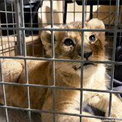 Lion cub discovered in Lamborghini at Paris' tourist attraction