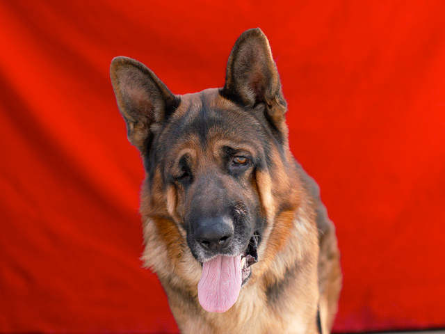 Magnificent German Shepherd's Owner No Longer Had Time For Him