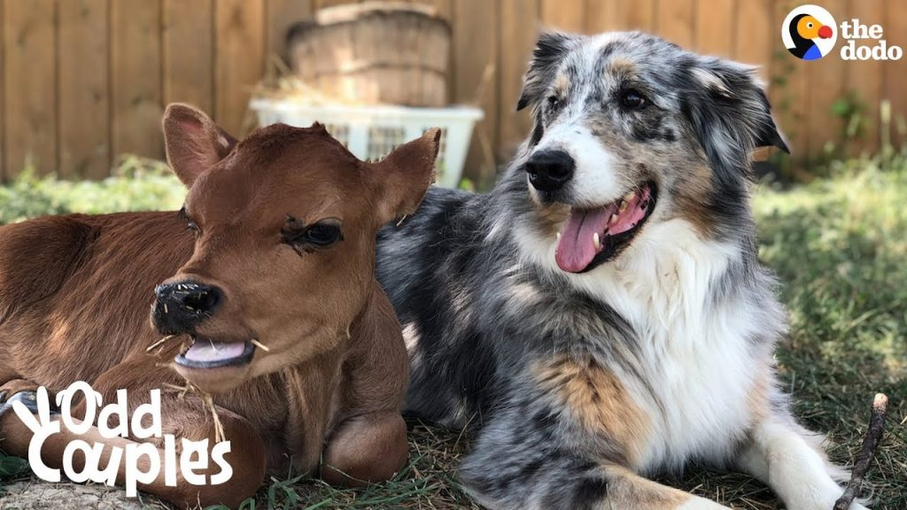 Dog Is SO Protective Of His Baby Cow Brother