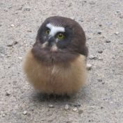 Police Officer Stumbles Upon Baby Owl, Has An Adorable Conversation