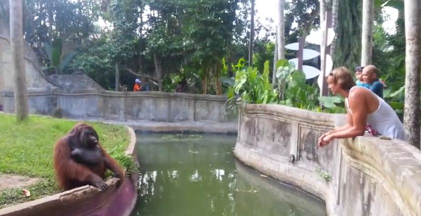 A Man Tosses A Treat At An Orangutan. What Happens Next Has Everyone Laughing In Disbelief!