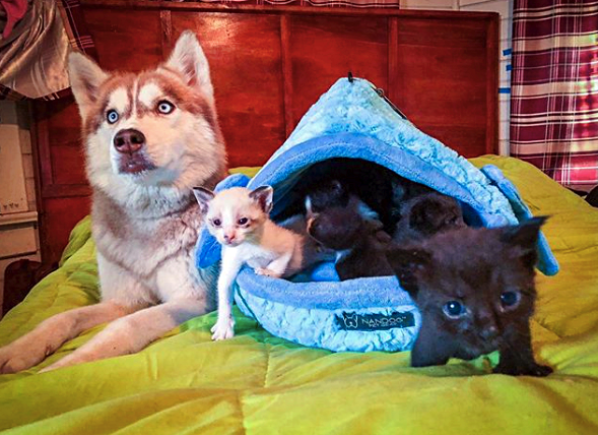 Husky Leads Owner Into The Woods And Comes Up With A Kitten In Her