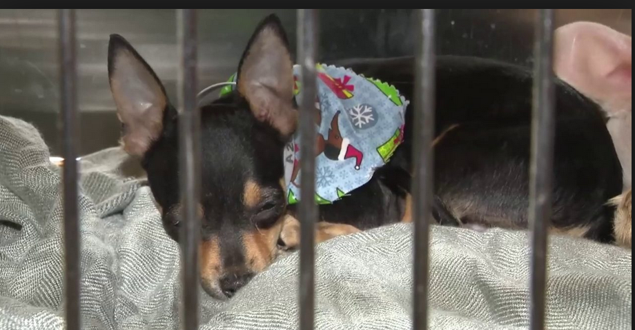 Owner surrenders 20 Chiweenies found inside of his home