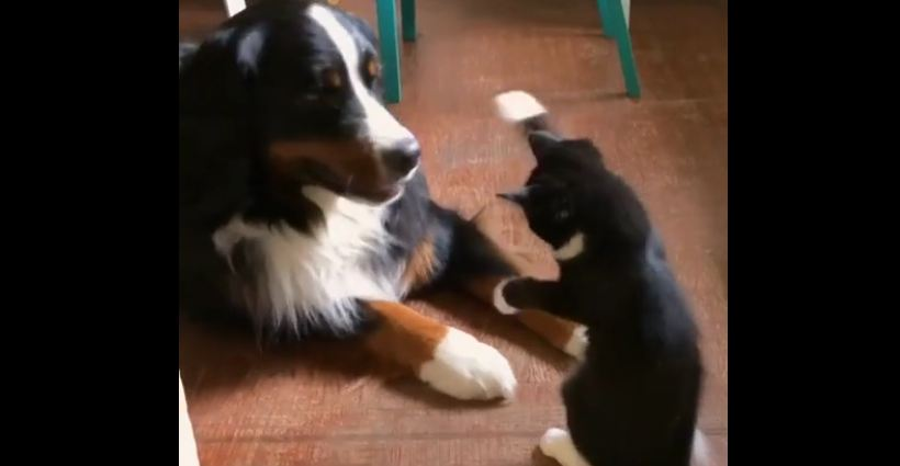 Ninja Kitten Uses Its Tiny Marshmallow Paws To Show Dog Who's The Boss