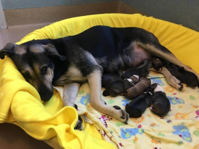 Pregnant shepherd dumped in night drop box at shelter