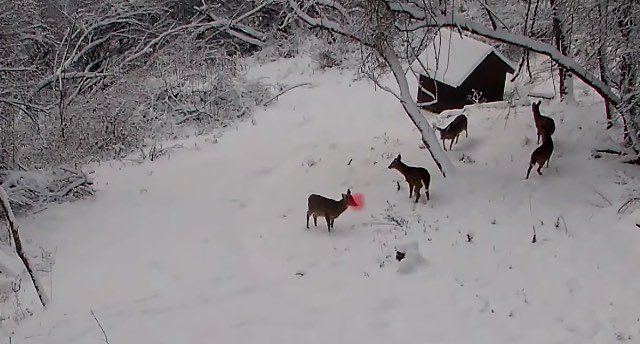 Hidden Camera Catches Rudolph The Red-Nosed Reindeer Playing with Santa's Other Reindeer