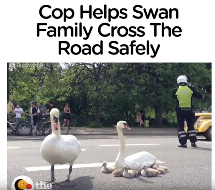 Cop Helps Swan Family Get Home Safe