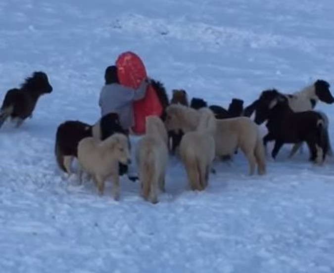 Boy Goes Sledding, And Mini Horses Don't Want To Be Left Out