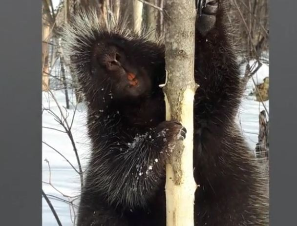 Porcupine has funny interaction with man in the woods