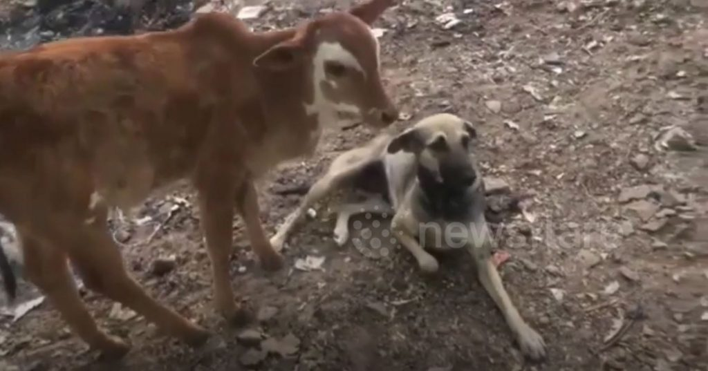 Dog breastfeeds calf after mother cow falls sick from eating plastic