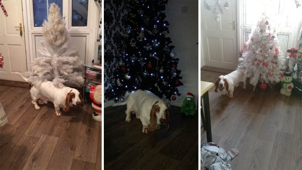 Adorable Basset Hound Loves To Boogie Around The Christmas Tree
