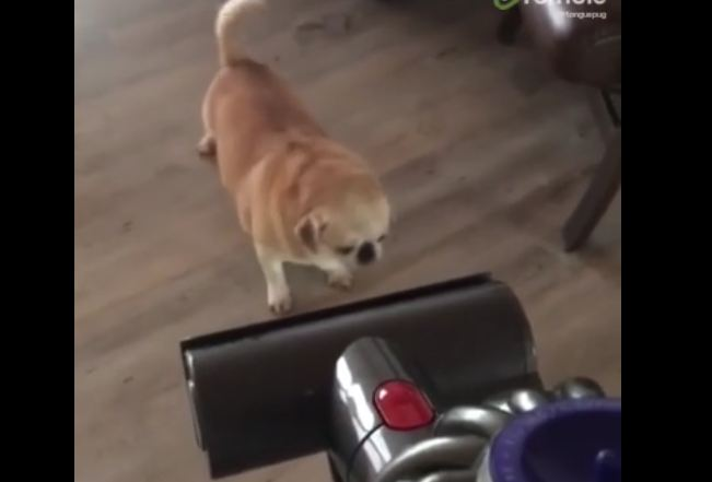 Pug Puppy Absolutely Loves To Get Herself Vacuumed