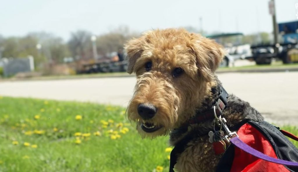 Airedale Puppy Hits The Jackpot With Her New Family