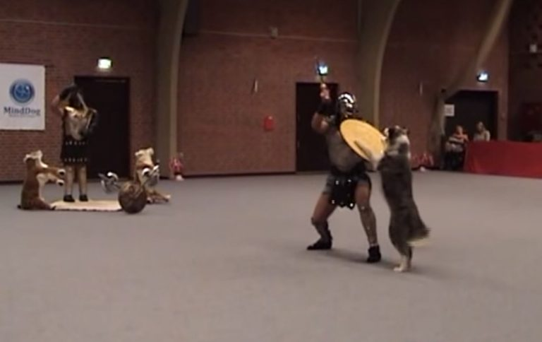 Gladiator and His Border Collie Battle To Win Heelwork To Music Routine