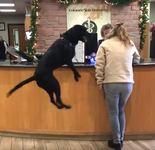 Happy-Go-Lucky Dog Seen Jumping For Joy While In Line At The Vet