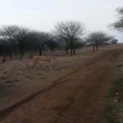 Three men ride motor bikes over dirt road to harass pride of lions