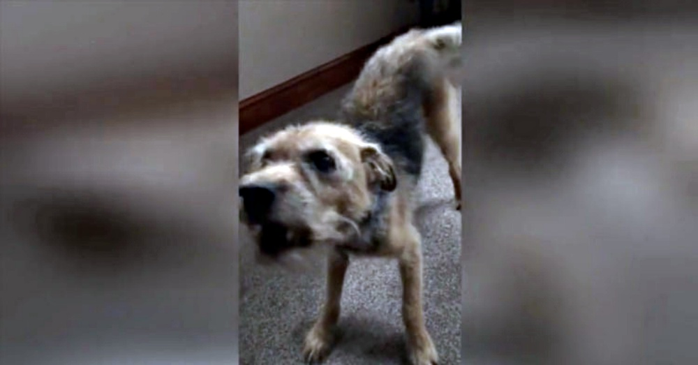 Deaf 17-Yr-Old Dog Turns Into Puppy The Second He Realizes Mom Is Home