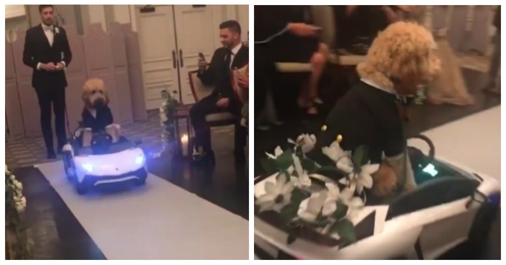 """Dapper Goldendoodle Steals Spotlight At Wedding By """"Driving"""" Down Aisle"""