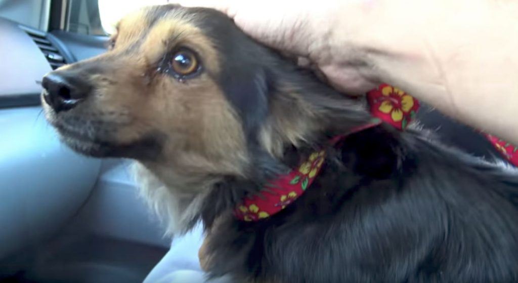 Stray Dog's Owner Didn't Want Him Back Because He Got A New Dog