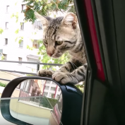 Stray Cat Decides He Wants A Forever Home, Climbs Into Car And Refuses To Leave