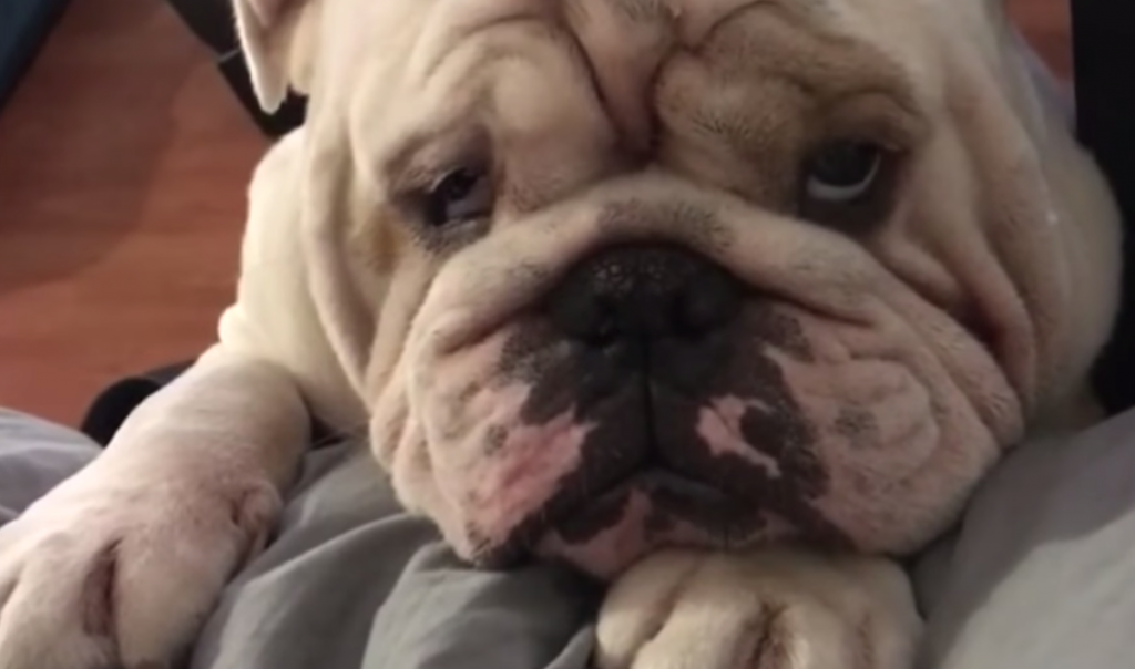 Bulldog Just Wants A Spot On The Bed, Presents Adorable Plea To Dad