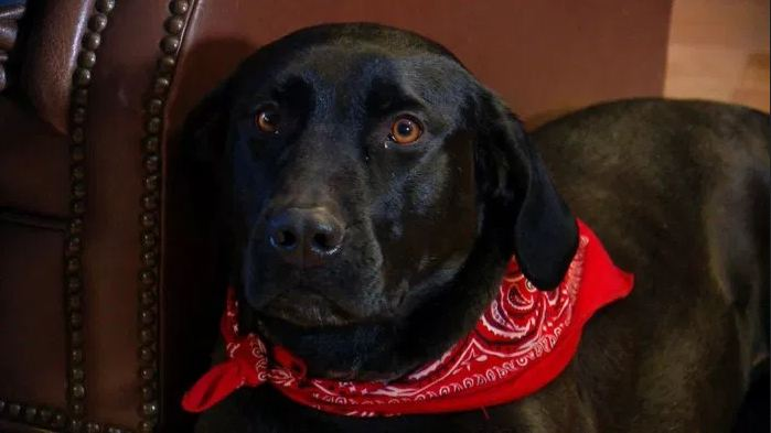 Neighbor's Labrador retriever saves 87-year-old woman who fell in snow