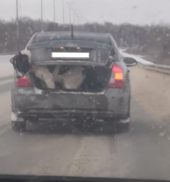 Shocking Video Shows Large Dog Riding in Trunk of Small Car