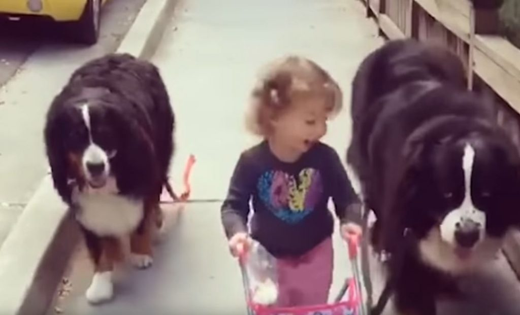 Enormous Dogs Love Taking Care Of Their Little Sister