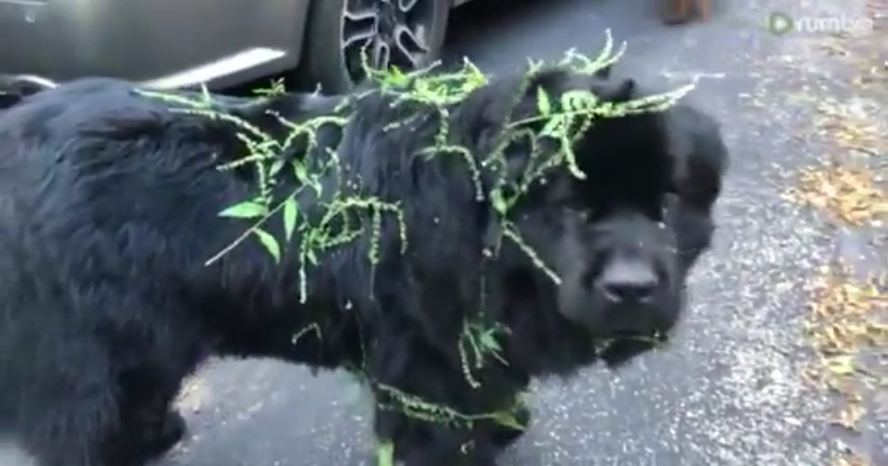Poor Newfoundland gets covered in sticky burs