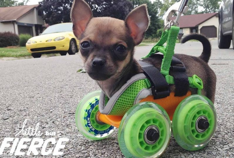 Tiniest Puppy Loves To Race Around On His Wheels   The Dodo Little But Fierce