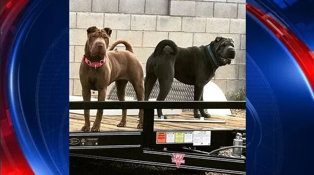 Huge friendly pooches sent UPS driver fleeing for cover