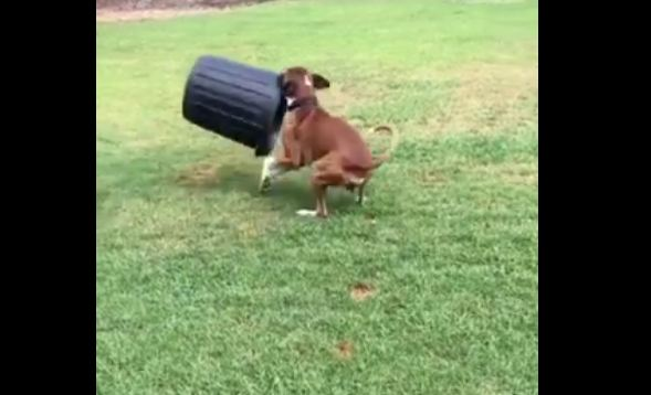 Boxer Hilariously Spins Bin In Circles