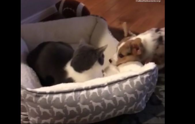 Puppy And Cat Battle For Bed Dominance