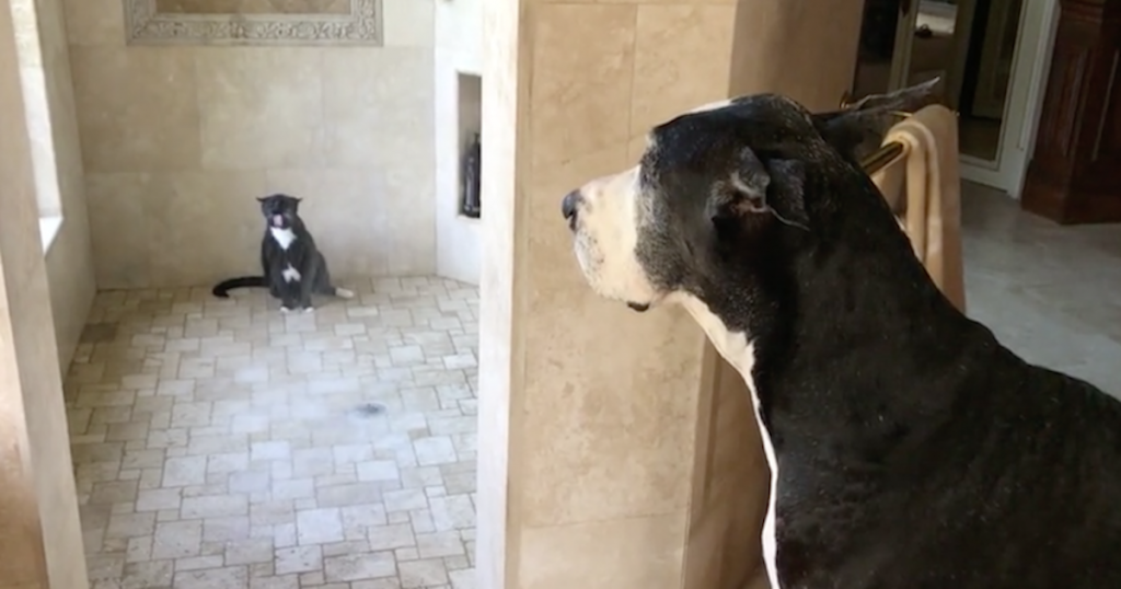 Great Dane Patiently Waits For Her Turn In The Shower