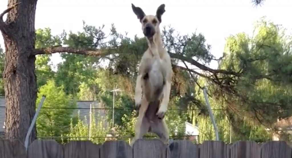 Great Dane Cleverly Uses The Trampoline To Spy On The Neighbors
