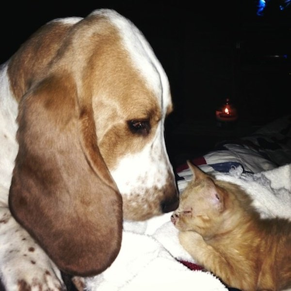 Rescued Basset Hound Finds Stray Kitten And Becomes Doting Mother